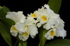 Orchid BLC Adolph Hecker | Karae Lyn Sugiyama 'Patrician' HCC/AOS