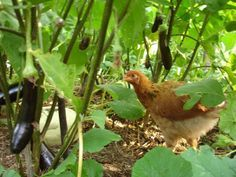 what to grow to eliminate grain/bagged chicken feed