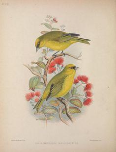 Aves Hawaiienses : - Biodiversity Heritage Library