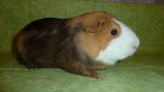 Pooky Pet Guinea Pigs, Babies, Pets, Animals, Babys, Animales, Animaux, Baby, Animal