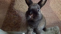My cute netherland dwarf bunny - Moose the bun! Netherland Dwarf Bunny, Dwarf Bunnies, Black Bunny, Cuddles, Moose, Rabbit, Creatures, Cute, Animals