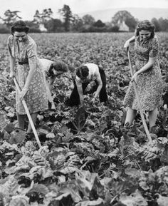 Shop assistants from Boots the Chemist hoe and weed a field of mangold, September 1942. The women worked on the land in their spare time as part of a scheme set up by Cheltenhams shops to help in the war effort.