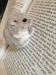 Adorable little hamster hanging of a book.I find these hamsters so cute Baby Animals Pictures, Cute Animal Pictures, Animals And Pets, Animal Pics, Funny Pictures, Cute Little Animals, Cute Funny Animals, Cute Hamsters, Robo Dwarf Hamsters