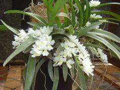Rodriguezia Lanceolata | Olá conterrâneo, é uma Rodriguezia venusta, muito comum por aqui ...