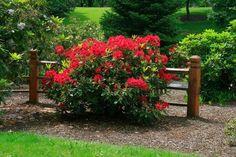 A rhododendron gondozása és ültetése