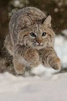 Lynx. Getting Air by jeff wendorf