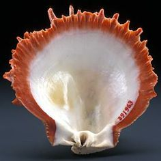 Spondylus shell - Thorny Oyster