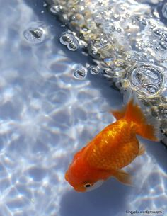 ranchu goldfish swimming in the blue pool with bubble.