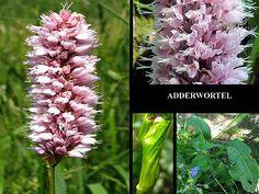 Adderwortel - Persicaria bistorta. - Foto gemaakt door pinterester Adri v.d.S - Bord Wilde Rode bloemen - Red wildflowers