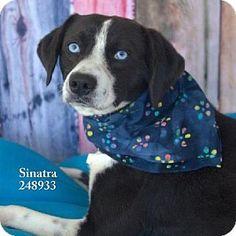 Conroe, TX - Border Collie Mix. Meet SINATRA, a dog for adoption. http://www.adoptapet.com/pet/12312901-conroe-texas-border-collie-mix