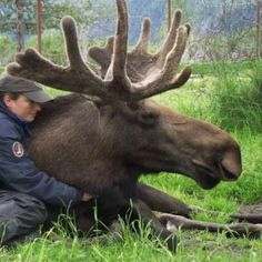 A human/animal love story, she raised this moose since he was 3 days old....I love this story!