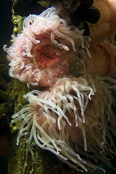 White Spotted Rose Anemones