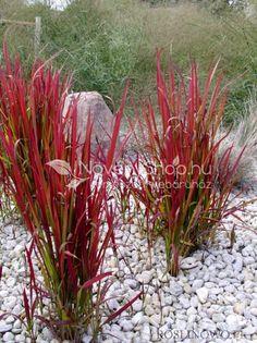Vörös alangfű, Japán vérfű, Imperata cylindrica 'Red Baron'Az egyik legszebb tóparti, mocsári növény. Magassága 40-60 cm, kifejlett korában. Levelei 1 cm szélesek, vöröses bordó színűek. Teljes víz borítást nem szereti, kimondottan tóparti díszfű, teljesen télálló! Yellow Plants, Burgundy, Orange, Garden, Flowers, Gold, Garten, Lawn And Garden, Gardens