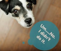 How to STOP dog from peeing on carpet! There are 3 reasons your dog may be peeing on your carpet, and here is what they are, and what you can do about it. Whoodle Dog, Tiny Dog Breeds, Dog Growling, Dog Shaking, Pet Carpet Cleaners, Dog Commands, Positive Dog Training, Dog Cleaning, Dog Paws