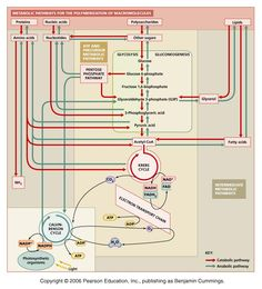 integration and regulation of metabolic pathways