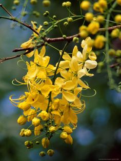 Cassia fistula, known as the golden shower tree