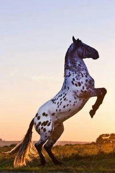 Gorgeous Appaloosa horse.
