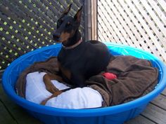 Silly Dobe hanging out in her pool bed..  Will have to make Chuck one of these this summer for the patio!