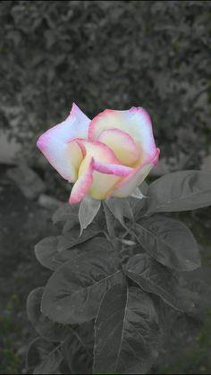 Rosa del jardín