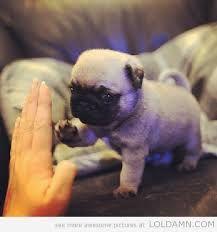 Highfive! #Pug #Dog #HighFive #Cute #Puppy #Trick