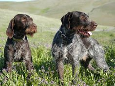 Is Your German Wirehaired Pointer Potty Trained Enough? House Training a puppy or adult German Wirehaired Pointer is such an es. Gsp Puppies, Pointer Puppies, Pointer Dog, German Shorthaired Pointer Black, German Wirehaired Pointer, Dog Breeds List, Dog Best Friend, Dog Potty, Dog Runs