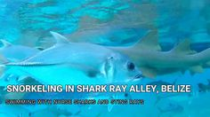 Snorkeling with Sharks in Shark Ray Alley Belize Nurse Shark, Travel Vlog, Sharks, Belize, Snorkeling, Pets, Movies, Movie Posters, Animals