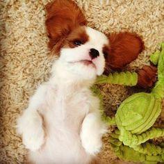 sweet puppi, bat dog, charl spaniel, king charl