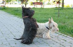 Scottish Terrier, Australian Shepherds, Cute Dogs Breeds, Small Dog Breeds, West Highland Terrier, Rottweiler, Animal Magic, Husky, Terrier Dogs