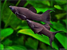 black molly pair frolicking about