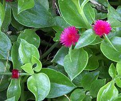 Plantas Ideais para Sol Pleno | Flores - Cultura Mix Colorful Flowers, Beautiful Flowers, Succulent Terrarium, Plant Species, Shrubs, Garden Landscaping, Cactus, Flora, Succulents