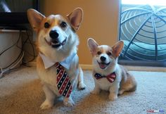 """If they could talk, they'd be shouting, """"MURICA!!"""" Happy 4th of July from Corgnelius & Stumphrey!"""