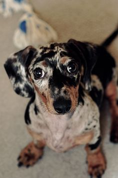 If John would ever let me some day I want a doxie like this! Dapple Dachshund, Wire Haired Dachshund, Dachshund Puppies, Weenie Dogs, Dachshund Love, Dogs And Puppies, Daschund, Little Dogs, Dog Life