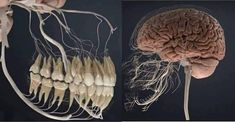 Post with 2066 votes and 81373 views. Tagged with wisdom teeth, the more you know; Human teeth and nerve system. This is why toothache tends to be accompanied by headache Sensory Nerves, Facts About Humans, Human Teeth, Big Muscles, Back Pain, Human Body, Fun Facts, Creepy Facts, Things To Think About