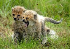 Cheetah Cubs Waiting on Their Mama. Wild Creatures, Cute Creatures, Crazy Cat Lady, Crazy Cats, I Love Cats, Big Cats, Baby Animals, Cute Animals, Wild Animals
