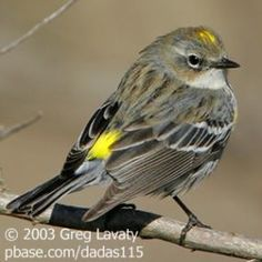 Yellow Rumped Warbler Bird Note - Stories about birds, the environment and more.