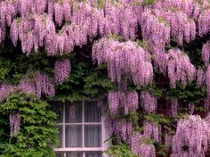 Glicínia - Wisteria sinensis - Flores e Folhagens Wisteria Sinensis, Wisteria Plant, Purple Wisteria, Bloom, Climbing Vines, Climbing Flowers, Purple Haze, Beautiful Gardens, Garden Landscaping