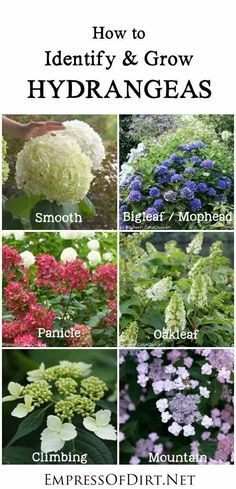 Identifying the different types of hydrangeas