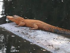 discovered in Florida which seems to an orange alligator, it was examined by a biologist who believes it to be half-albino