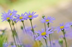 Aster by Tramont_ana