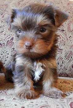 Mousse- Chocolate Teacup Yorkie Pups