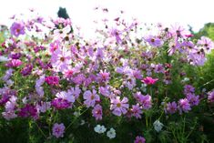 beautiful cottage garden flowers, cosmos are delightful in the garden and as cut flowers Cut Flower Garden, Beautiful Flowers Garden, Flower Farm, Flower Gardening, Beautiful Gardens, Types Of Flowers, Cut Flowers, Yellow Flowers, Field Of Flowers