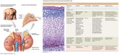Image from http://www.highlands.edu/academics/divisions/scipe/biology/faculty/harnden/2122/images/adrenal.jpg.