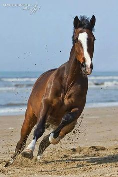Majestic horse running at you on the beach.