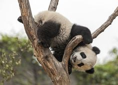 13 things you didn't know about pandas - Travel