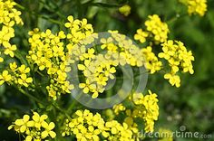 Medicinal plant - canola, colza (Brassica napus oleifera, Brassica rapa oleifera)