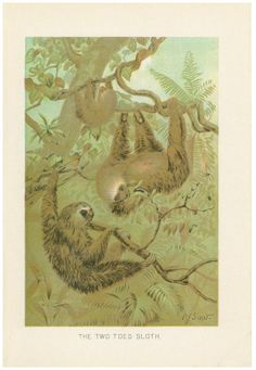 Antique Two Toed Sloth Print -- Circa 1901 -- Beautiful lithograph