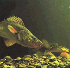 Vermont State Warmwater Fish - Walleye Pike