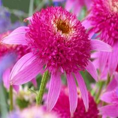 The Echinacea 'Pink Double Delight' is a selection that is very close to another coneflower named 'Razzmatazz' but is shorter with a more compact growth habit. Two foot tall plants produce a bounty of true bright pink flowers with pom-pom like centers. The 3 inch flowers are born on strong very well branched plants that stay in color all summer and into fall. Pink Double Delight is a very cheerful looking perennial and will brighten the day of any one who happens to pass by.