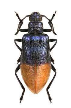 Lagridae gen. sp. African Room, Insect Orders, Longhorn Beetle, Types Of Bugs, Insect Tattoo, Beetle Insect, Morpho Butterfly, Blue Wings, Beetles