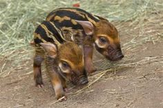 Red river hog piglets crazy cuter than the adults Cute Creatures, Beautiful Creatures, Animals Beautiful, Red River Hog, Farm Animals, Cute Animals, Funny Animals, Baby Piglets, Mini Pigs